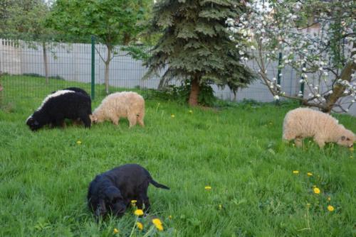 Freya i owce