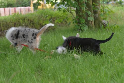 Hoshi w trakcie psiego przedszkola